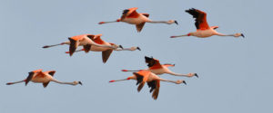 Flamingo Wikimedia